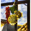 Immagine di Peperoncini e girasoli