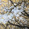 Immagine di Ramo di ciliegio